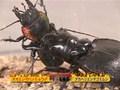世界最強虫王決定戦・毒蟲祭り2008~オオエンマハンミョウ復活~