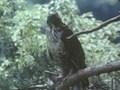野生の王国 クマタカ 森の精