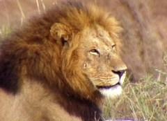 ゆかいなどうぶつたち りくのおともだち~ライオン、トラ、チーター~
