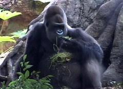 ゆかいなどうぶつたち りくのおともだち~ゴリラ、サル、チンパンジー~