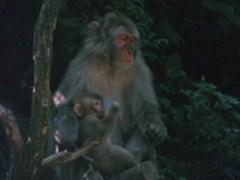 野生の王国 ニホンザル 母の愛